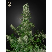 White Strawberry Skunk Feminised